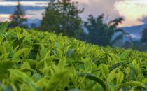 日照打造茶产业大数据平台 1.2万亩茶园实现可视化在线监控